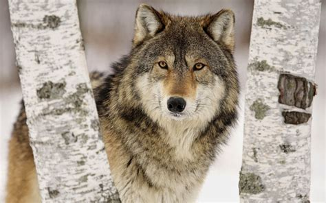 About Wolves Part I Wilderness