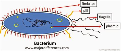 Pili Search Bacteria Pili Function Search Results Dunia Pictures