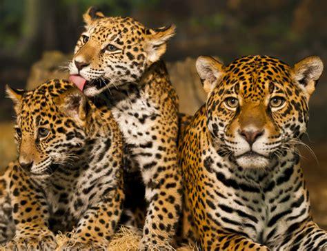 imagenes jaguar you bucket list costa rica s jaguar rescue center