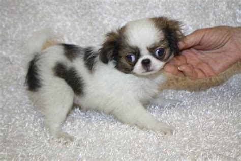 japanese chins japanese chin puppies japanese chin for sale ads free classifieds