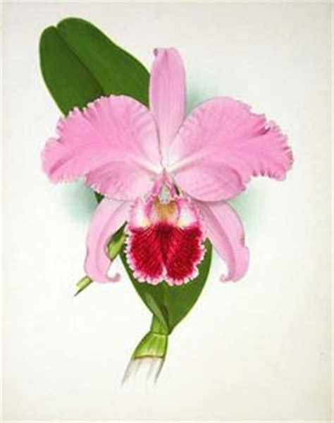 orchid old image cattleya flowers drawing clip art