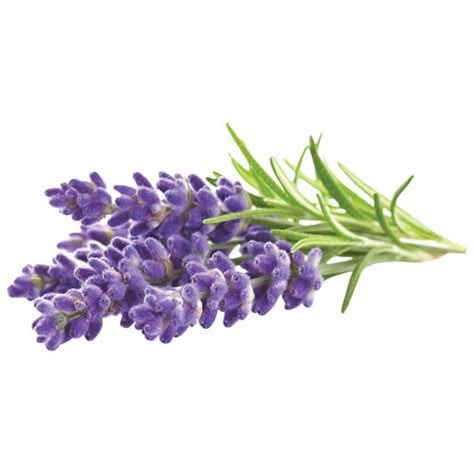 1 Pack Benih Lavender Seed click grow lavender seed capsule refill 3 pack smart
