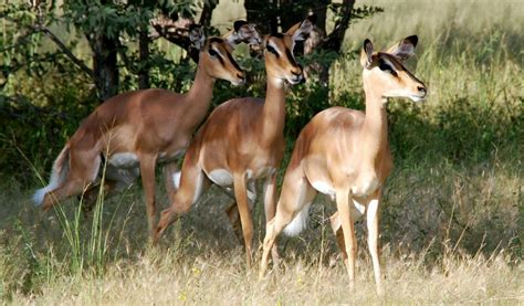 impala animal impalas discover some interesting and animal facts