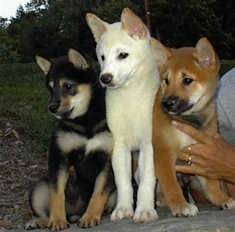 black shiba inu puppies puppies available
