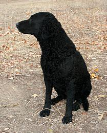 curly coated retriever puppies for sale curly coated retriever puppies for sale picture and images