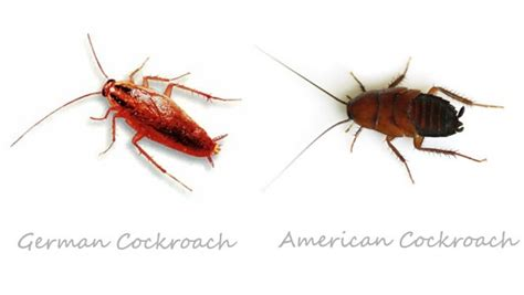 how to get rid of cockroach home remedies fast home remedies