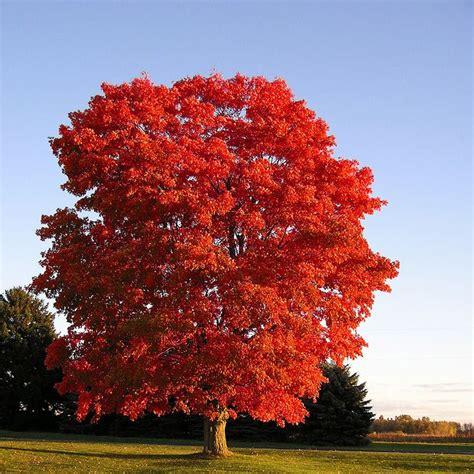are maple trees maple trees are fast growing and for landscaping garden delights
