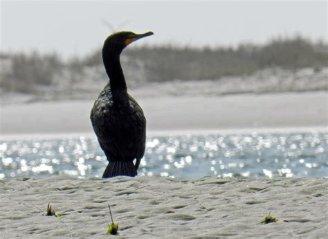 five common birds seen on our salt marsh kayak tour