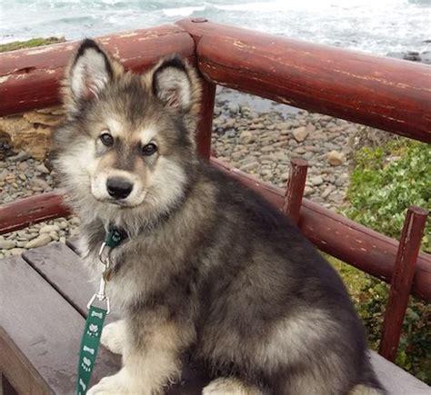 german shepherd puppies alaska best 25 alaskan shepherd ideas on wolf puppy german shepherd mix and