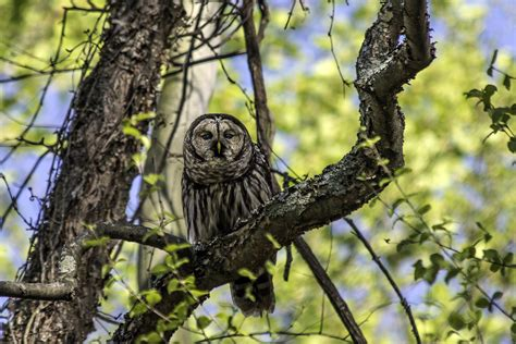 Tree Owl 3 by More Barred Owl Images Stephen L Tabone Nature Photography