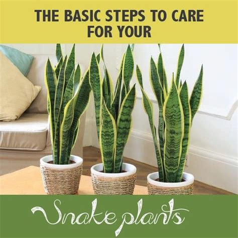 7 Techniques On Caring For A Python by How To Care For A Snake Plant Helpful Tips