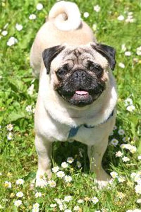 pug diet tips pugs and hind quarter weakness pets