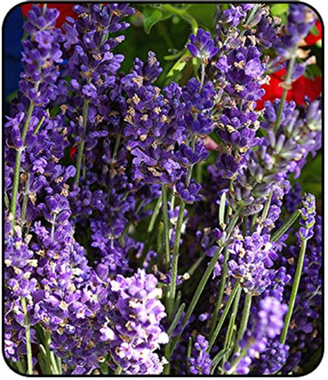 iowa outdoor products munstead lavender