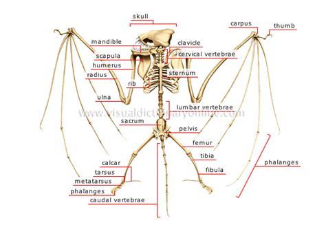 labelled diagram of a bat image gallery labeled animal skeleton