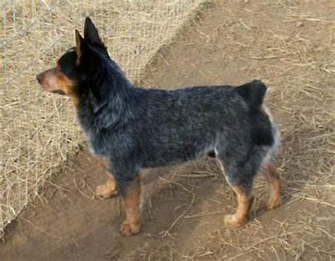 mini blue heeler puppies for sale the world s catalog of ideas