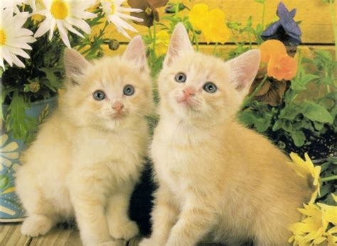 Two yellow kittens   Cats & Animals Background Wallpapers