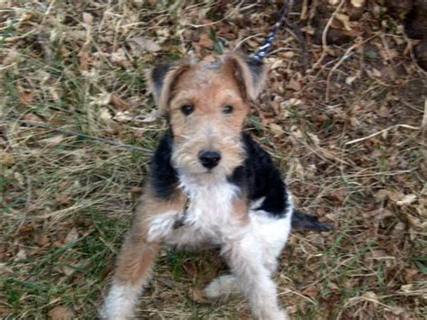 wire fox terrier puppies breeders marcis fox terrier wire hair breeder my fox terriers