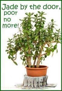 jade plant money plant jade plants feng shui plants