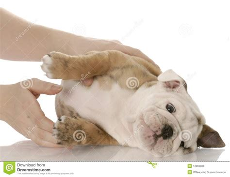 picking a puppy picking up a small puppy royalty free stock image image 12869086
