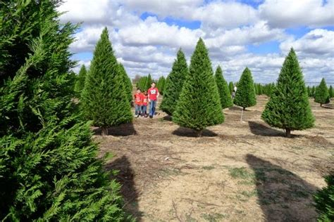 you cut christmas tree farms it feels like chaos when you cut your tree at a tree farm