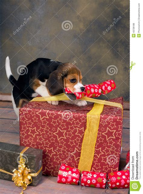 puppy with christmas gifts stock photo image 43736188