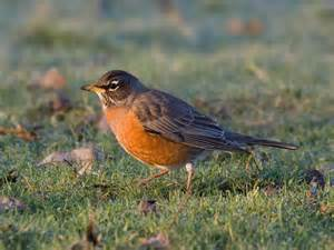 North American Backyard Birds In The Backyard American Robin Pacific Nw Birder