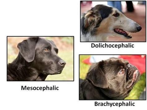 brachycephalic dogs canine shape cranial index cephalic brachycephalic doclichocephalic