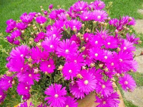 pianta grassa fiori fucsia acquisto piante fiorista comprare le piante