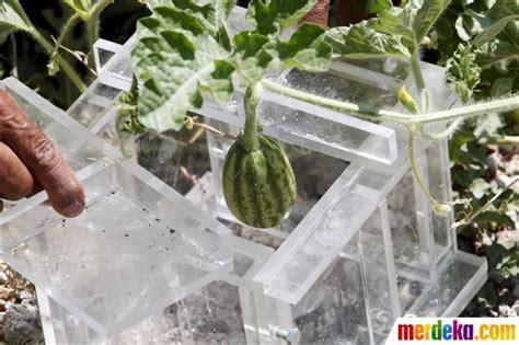 membuat video jadi kotak foto begini cara petani lebanon cetak semangka jadi