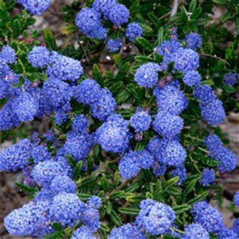 lilac climbing plant buy climbing plants trellis climbers