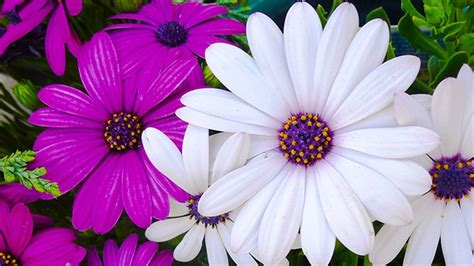 different types of half hardy annual flowers suitable