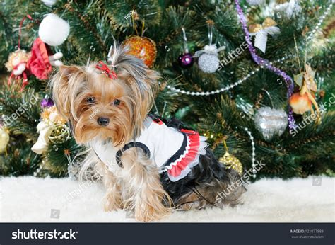 xmas tree with yorkies terrier in front of tree stock photo 121077883