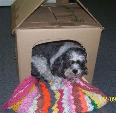 shih tzu poodle mix price how much does a shih tzu poodle mix cost
