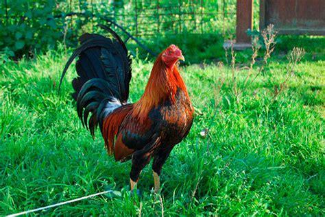 gallo s jerezanos espanoles de venta l 237 nea 5 estrelllas gallos a calvo