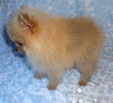 adopt a pomeranian pomeranian for rescue breeds picture auto design tech