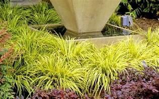 Ornamental Climbing Plant - buy golden sweet flag acorus gramineus ogon for sale online from wilson bros gardens