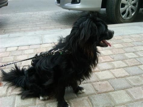 all black dogs all black papillon breeds picture