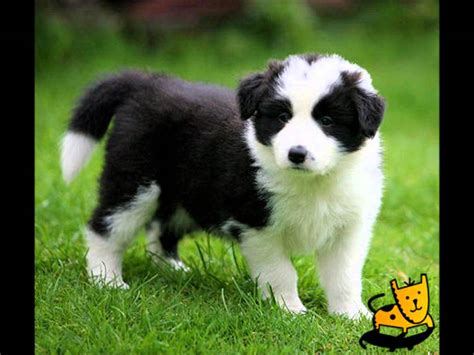 top puppies top 10 cutest puppy breeds