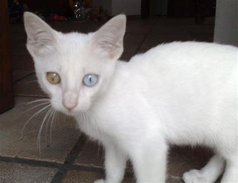 gatti con occhi diversi bascap 232 smarrito gatto bianco con occhi diversi