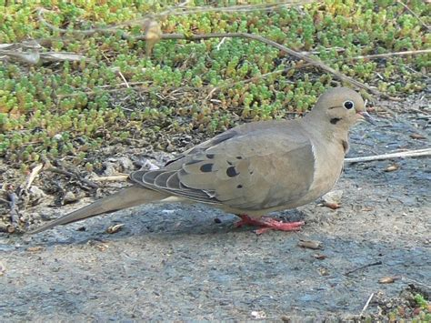 toronto wildlife doves pigeons