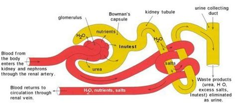 the first capillary bed associated with the nephron glomerular filtration nephron model