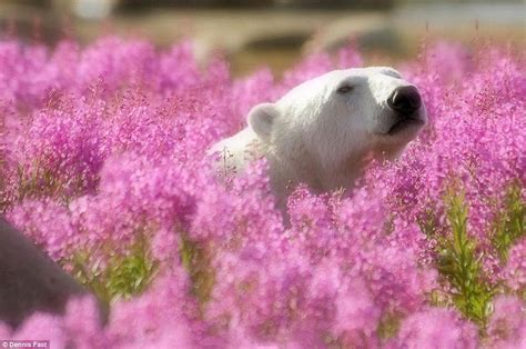 wildlife photographer dennis fast captures playful polar bears in a field of flowers