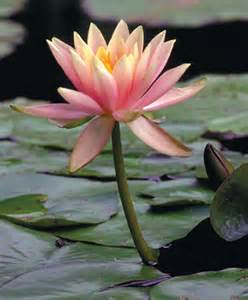 Is Lotus A Floating Plant Pond Plants Hardy Water Lotus Floating And Submerged