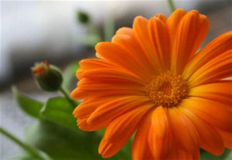 birth month flower  october  calendula