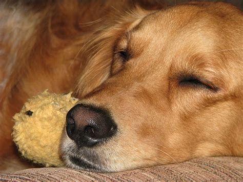 do dogs nightmares nightmares causes and what to do to stop terrors dogs cats pets