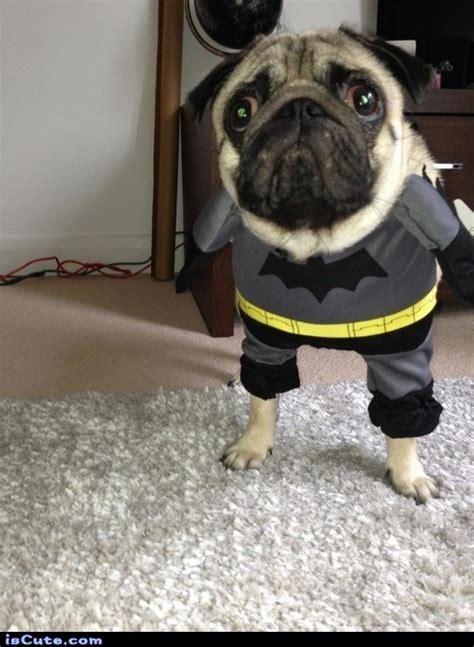 pug dressed as batman batman pug iscute