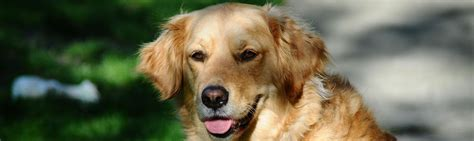 golden retriever original breed golden retriever information breeds at newpetowners