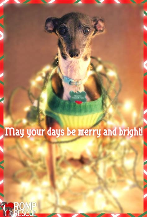 christmas card ideas   dog romp italian greyhound rescueromp italian greyhound rescue