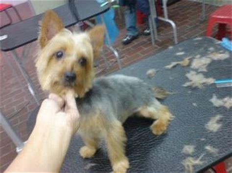 short cuts for silky terrier lẽ toro grooming studio silky terrier short cut