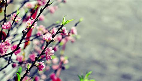 Japanese Blossom Tree c e p t t nguy 234 n 225 n truy n th ng c a vi t nam